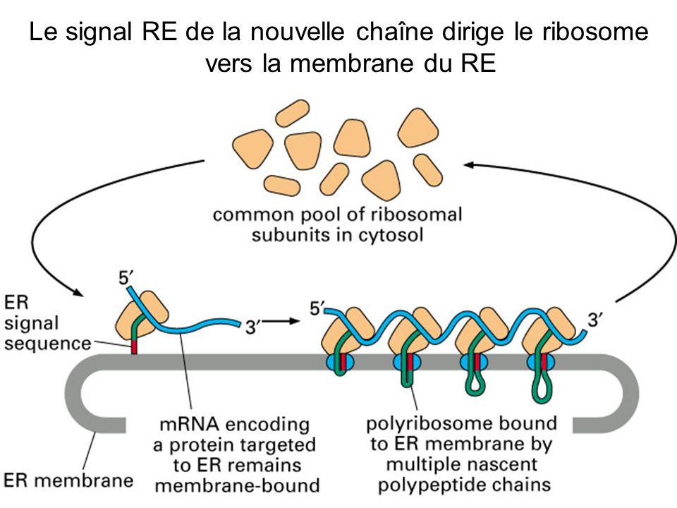Fig 12-37(B) Le signal RE de la nouvelle chaîne dirige le ribosome vers la membrane du RE
