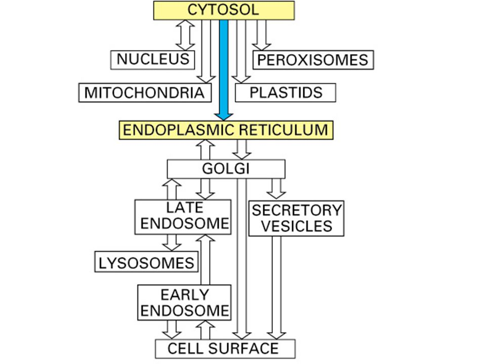 Rappel : les deux types d import Post-traductionnel –mitochondrie, noyau, peroxysomes Co-traductionnel –RE –pas de risque de repliement de la protéine avant son insertion pas besoin de chaperones –nécessité de fixer les ribosomes sur le RE RE granulaire (REG)