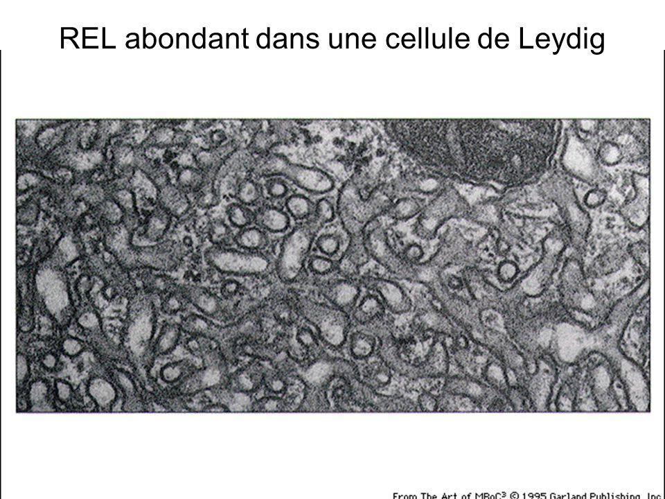 Fig 12-38(A) REL abondant dans une cellule de Leydig