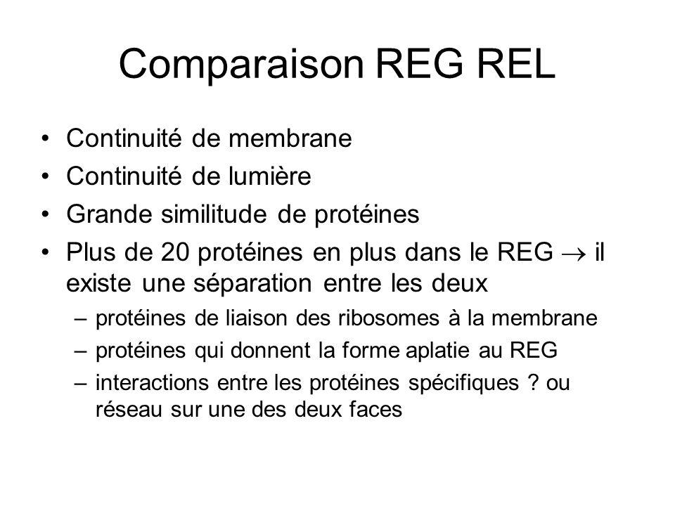 Comparaison REG REL Continuité de membrane Continuité de lumière Grande similitude de protéines Plus de 20 protéines en plus dans le REG il existe une séparation entre les deux –protéines de liaison des ribosomes à la membrane –protéines qui donnent la forme aplatie au REG –interactions entre les protéines spécifiques .