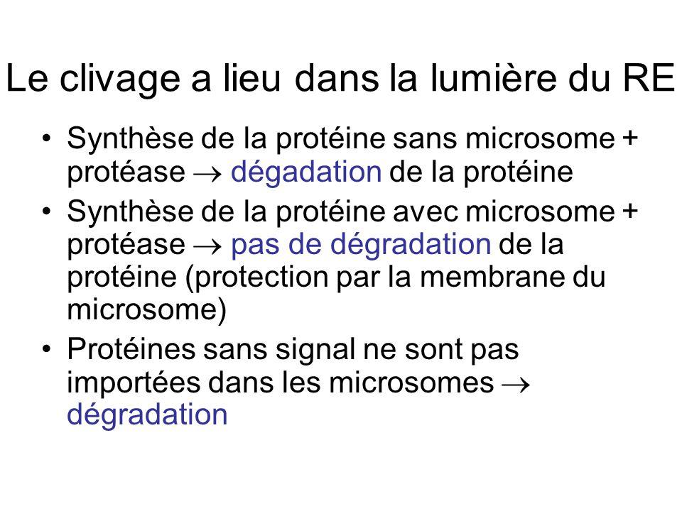 Le clivage a lieu dans la lumière du RE Synthèse de la protéine sans microsome + protéase dégadation de la protéine Synthèse de la protéine avec microsome + protéase pas de dégradation de la protéine (protection par la membrane du microsome) Protéines sans signal ne sont pas importées dans les microsomes dégradation
