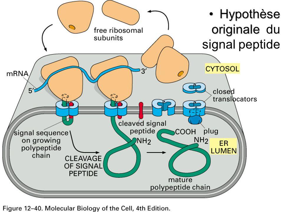 Fig 12-40 Hypothèse originaleHypothèse originale du signal peptide
