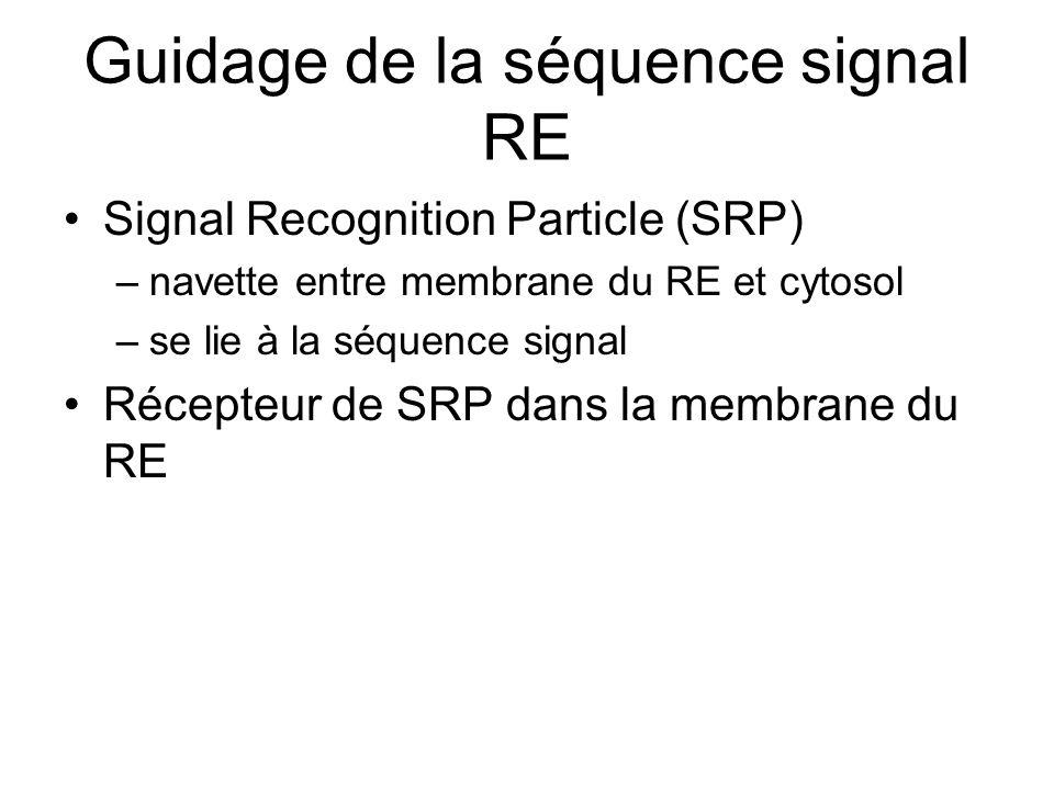 Guidage de la séquence signal RE Signal Recognition Particle (SRP) –navette entre membrane du RE et cytosol –se lie à la séquence signal Récepteur de SRP dans la membrane du RE
