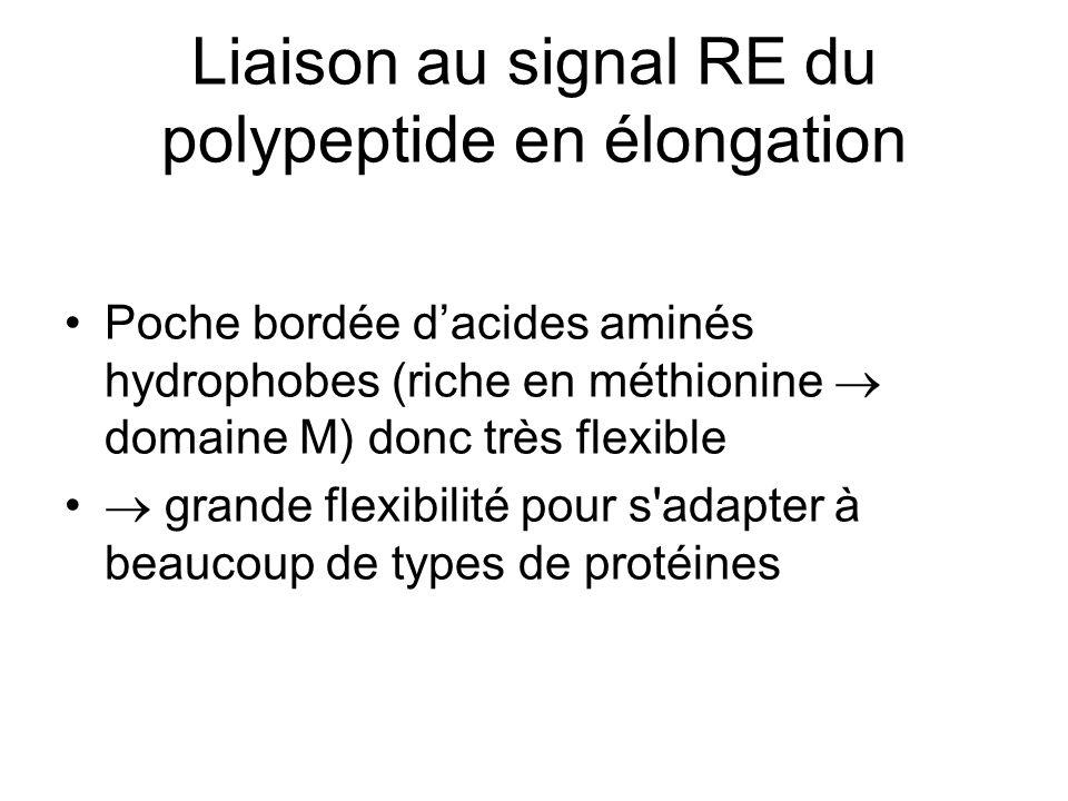 Liaison au signal RE du polypeptide en élongation Poche bordée dacides aminés hydrophobes (riche en méthionine domaine M) donc très flexible grande flexibilité pour s adapter à beaucoup de types de protéines