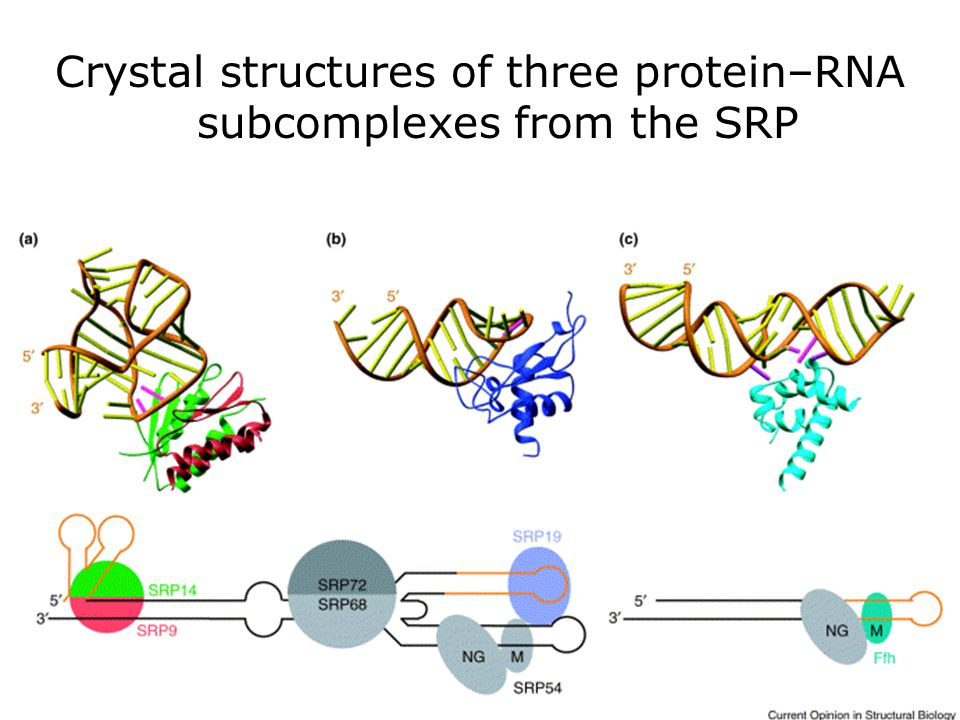 Wild,K2002 fig2 Crystal structures of three protein–RNA subcomplexes from the SRP