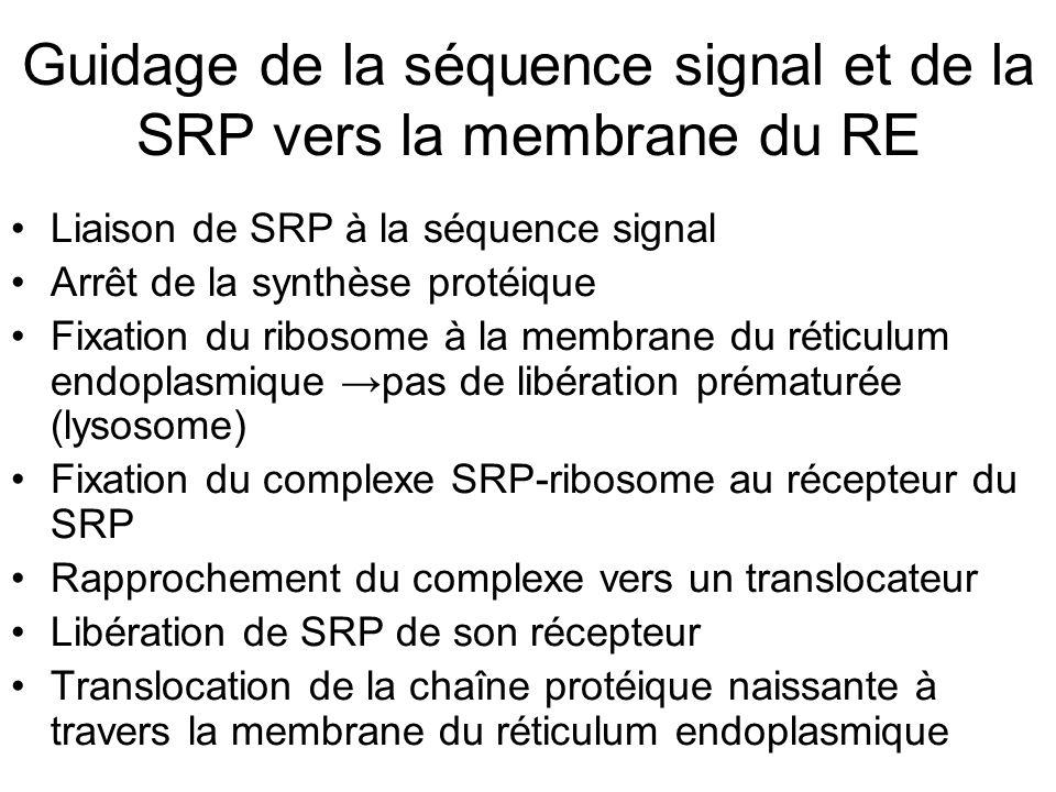 Guidage de la séquence signal et de la SRP vers la membrane du RE Liaison de SRP à la séquence signal Arrêt de la synthèse protéique Fixation du ribosome à la membrane du réticulum endoplasmique pas de libération prématurée (lysosome) Fixation du complexe SRP-ribosome au récepteur du SRP Rapprochement du complexe vers un translocateur Libération de SRP de son récepteur Translocation de la chaîne protéique naissante à travers la membrane du réticulum endoplasmique