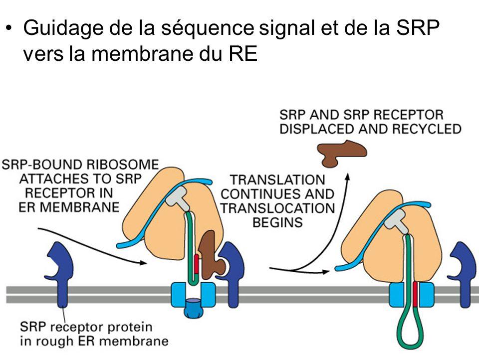 Fig 12-42(B) Guidage de la séquence signal et de la SRP vers la membrane du RE