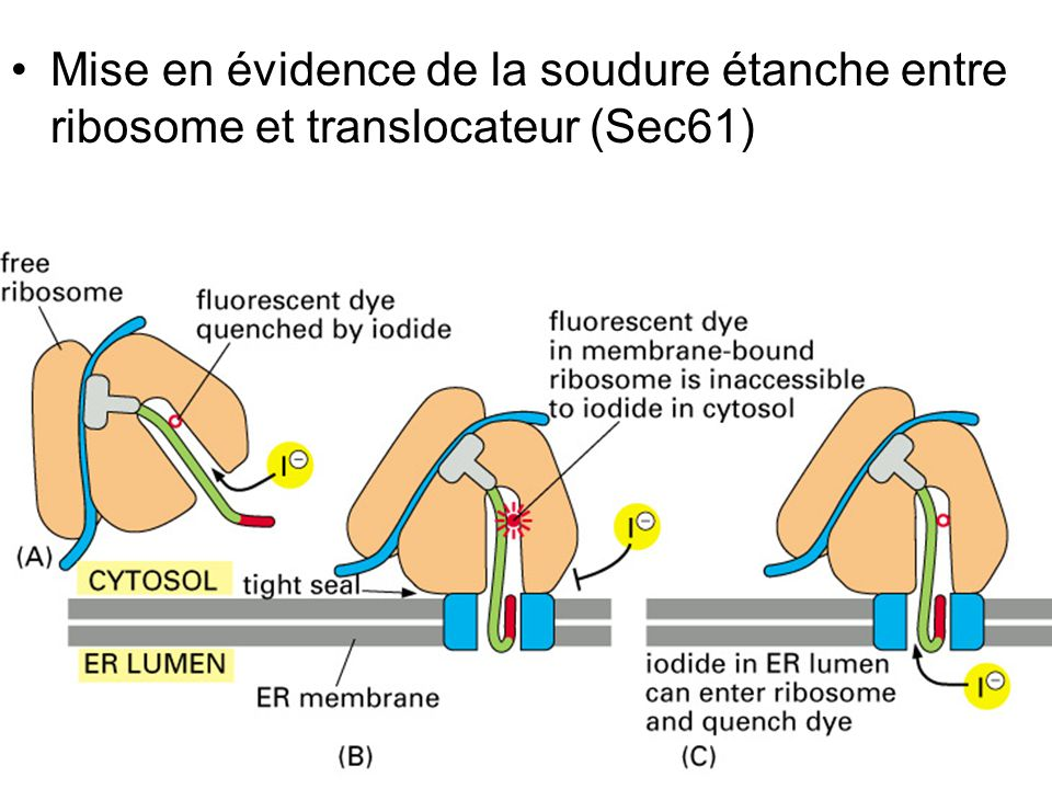 Fig 12-44 Mise en évidence de la soudure étanche entre ribosome et translocateur (Sec61)