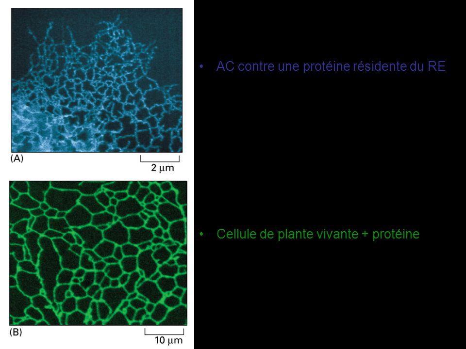 Glycosylation dans le réticulum endoplasmique Une des principales fonctions du réticulum endoplasmique glycoprotéines –Presque toutes les protéines fabriquées dans le RE solubles et membranaires sont glycosylées Les protéines du cytosol le sont très peu Glycosylation dans le Golgi (plus rare) – O lié sur le OH d une sérine ou thréonine ou hydroxylysine (cf.