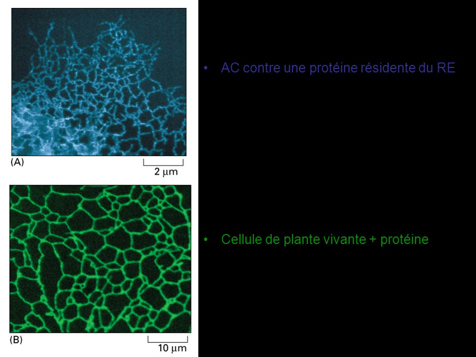 Polyribosomes attachés à la membrane du RE