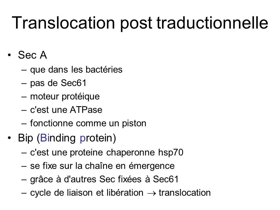 Translocation post traductionnelle Sec A –que dans les bactéries –pas de Sec61 –moteur protéique –c est une ATPase –fonctionne comme un piston Bip (Binding protein) –c est une proteine chaperonne hsp70 –se fixe sur la chaîne en émergence –grâce à d autres Sec fixées à Sec61 –cycle de liaison et libération translocation