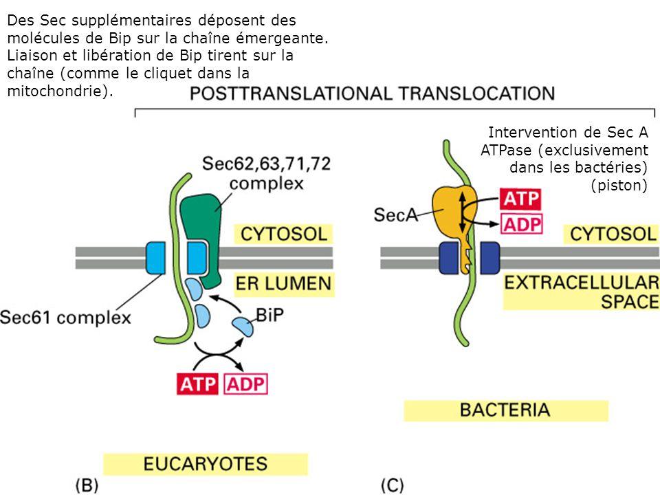 Translocation post- traductionnelle Fig 12-45(BC) Des Sec supplémentaires déposent des molécules de Bip sur la chaîne émergeante.
