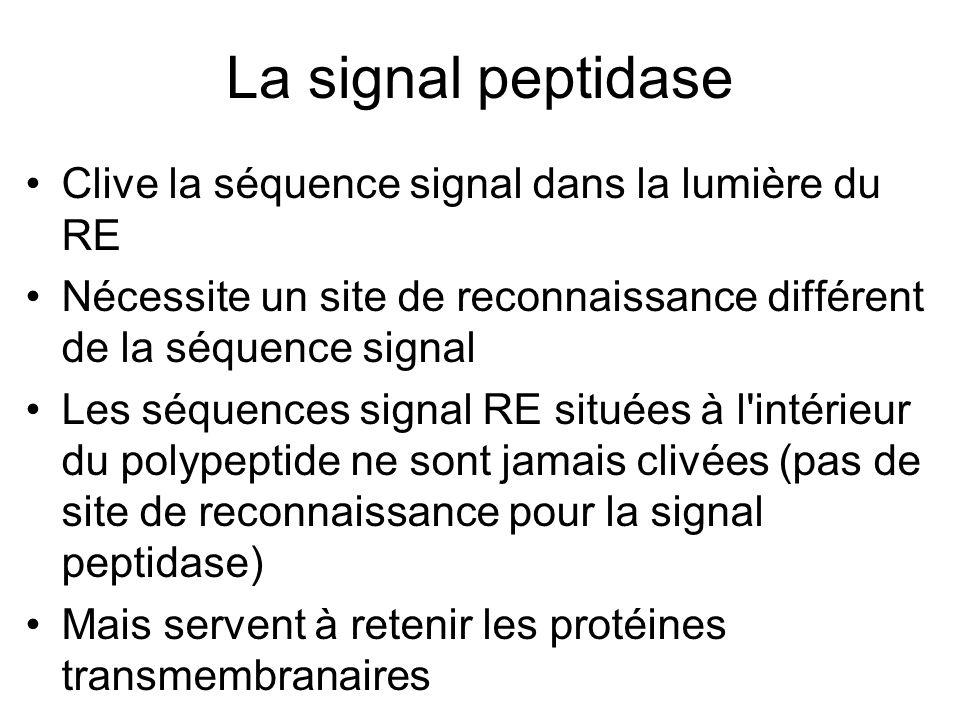 La signal peptidase Clive la séquence signal dans la lumière du RE Nécessite un site de reconnaissance différent de la séquence signal Les séquences signal RE situées à l intérieur du polypeptide ne sont jamais clivées (pas de site de reconnaissance pour la signal peptidase) Mais servent à retenir les protéines transmembranaires