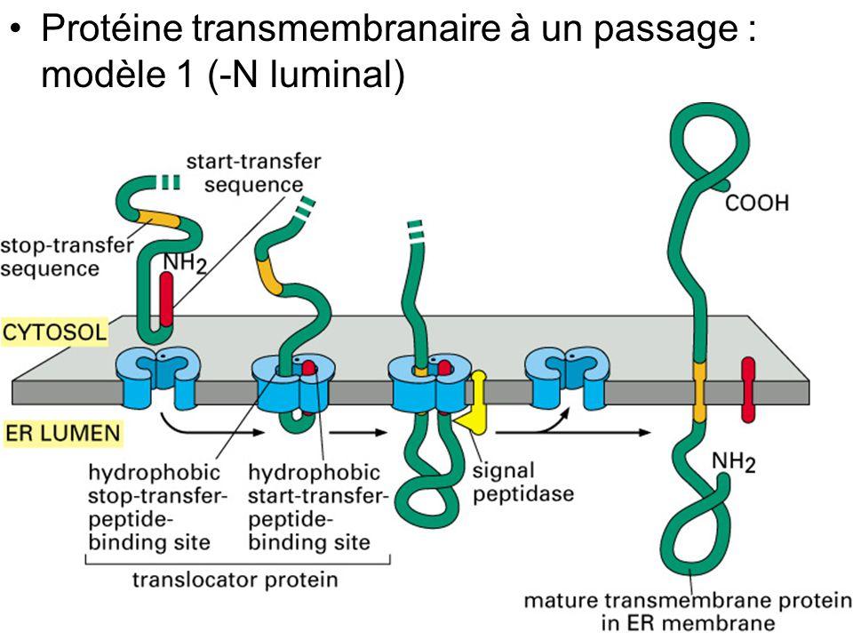 Fig 12-47 Protéine transmembranaire à un passage : modèle 1 (-N luminal)