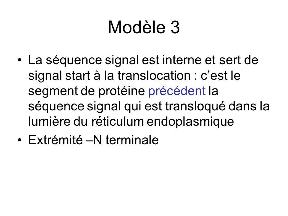 Modèle 3 La séquence signal est interne et sert de signal start à la translocation : cest le segment de protéine précédent la séquence signal qui est transloqué dans la lumière du réticulum endoplasmique Extrémité –N terminale