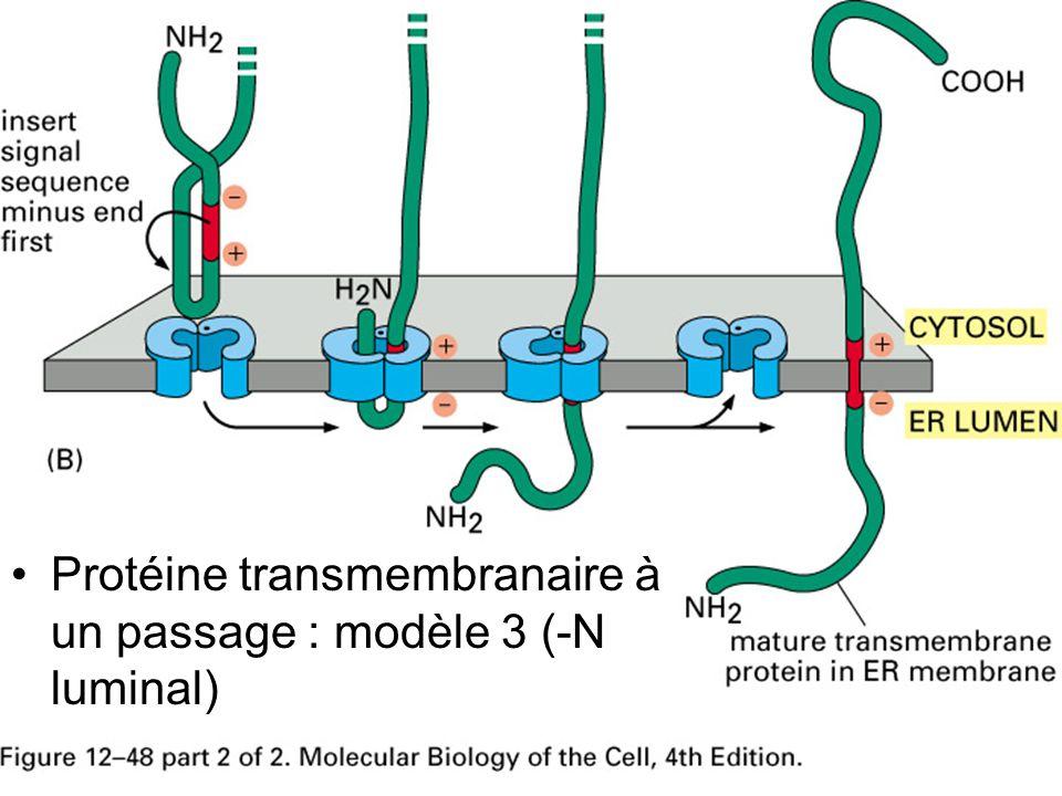 Fig 12-48(B) Protéine transmembranaire à un passage : modèle 3 (-N luminal)