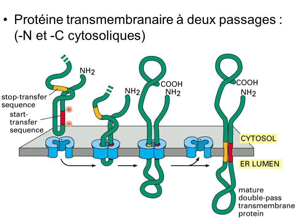 Fig 12-49 Protéine transmembranaire à deux passages : (-N et -C cytosoliques)