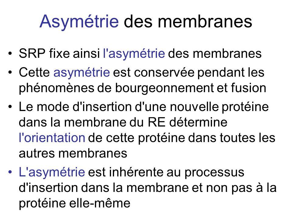 SRP fixe ainsi l asymétrie des membranes Cette asymétrie est conservée pendant les phénomènes de bourgeonnement et fusion Le mode d insertion d une nouvelle protéine dans la membrane du RE détermine l orientation de cette protéine dans toutes les autres membranes L asymétrie est inhérente au processus d insertion dans la membrane et non pas à la protéine elle-même Asymétrie des membranes