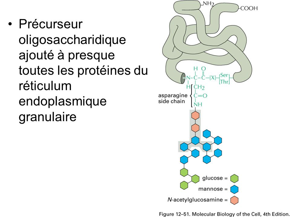Fig 12-51 Précurseur oligosaccharidique ajouté à presque toutes les protéines du réticulum endoplasmique granulaire