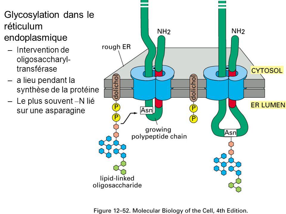 Fig 12-52 Glycosylation dans le réticulum endoplasmique –Intervention de oligosaccharyl- transférase –a lieu pendant la synthèse de la protéine –Le plus souvent N lié sur une asparagine