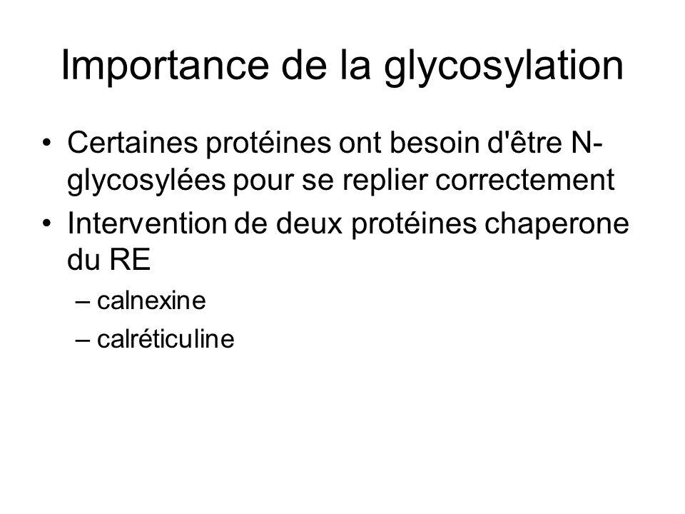 Importance de la glycosylation Certaines protéines ont besoin d être N- glycosylées pour se replier correctement Intervention de deux protéines chaperone du RE –calnexine –calréticuline