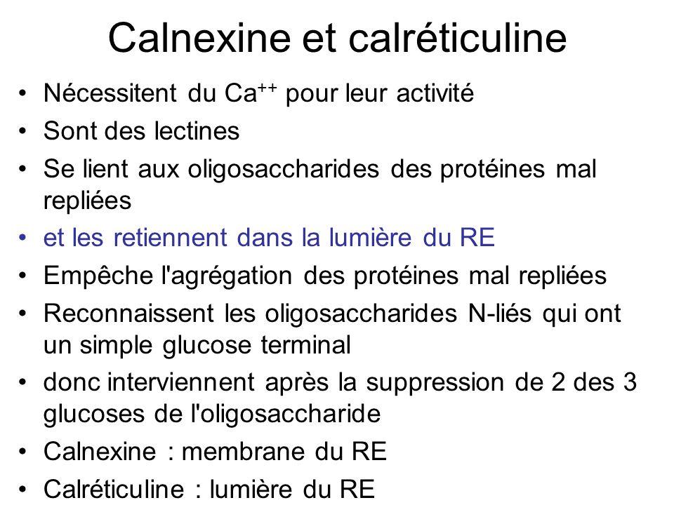 Calnexine et calréticuline Nécessitent du Ca ++ pour leur activité Sont des lectines Se lient aux oligosaccharides des protéines mal repliées et les retiennent dans la lumière du RE Empêche l agrégation des protéines mal repliées Reconnaissent les oligosaccharides N-liés qui ont un simple glucose terminal donc interviennent après la suppression de 2 des 3 glucoses de l oligosaccharide Calnexine : membrane du RE Calréticuline : lumière du RE