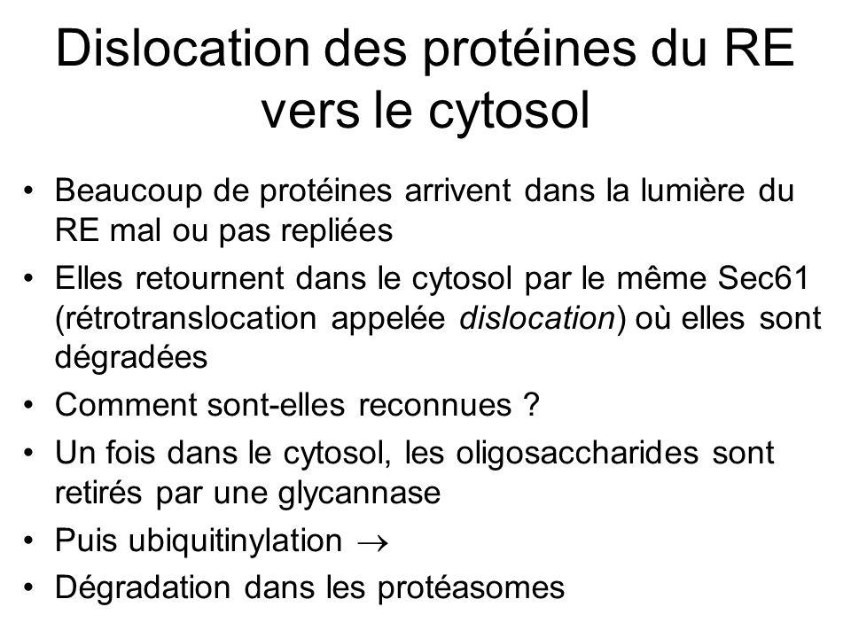 Dislocation des protéines du RE vers le cytosol Beaucoup de protéines arrivent dans la lumière du RE mal ou pas repliées Elles retournent dans le cytosol par le même Sec61 (rétrotranslocation appelée dislocation) où elles sont dégradées Comment sont-elles reconnues .