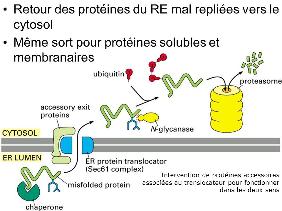 Fig 12-55 Retour des protéines du RE mal repliées vers le cytosol Même sort pour protéines solubles et membranaires Intervention de protéines accessoires associées au translocateur pour fonctionner dans les deux sens
