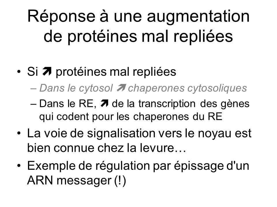 Réponse à une augmentation de protéines mal repliées Si protéines mal repliées –Dans le cytosol chaperones cytosoliques –Dans le RE, de la transcription des gènes qui codent pour les chaperones du RE La voie de signalisation vers le noyau est bien connue chez la levure… Exemple de régulation par épissage d un ARN messager (!)