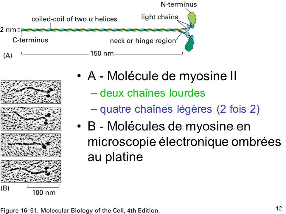 12 Fig 16-51 A - Molécule de myosine II –deux chaînes lourdes –quatre chaînes légères (2 fois 2) B - Molécules de myosine en microscopie électronique