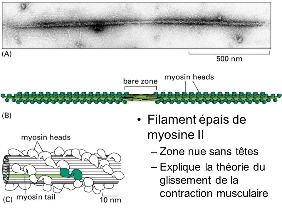 14 Fig 16-52 Filament épais de myosine II –Zone nue sans têtes –Explique la théorie du glissement de la contraction musculaire