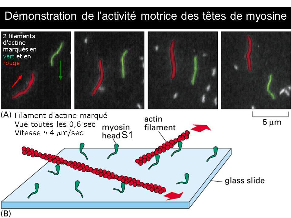 23 Fig 16-53 Démonstration de lactivité motrice des têtes de myosine Filament d'actine marqué Vue toutes les 0,6 sec Vitesse 4 m/sec 2 filaments d'act