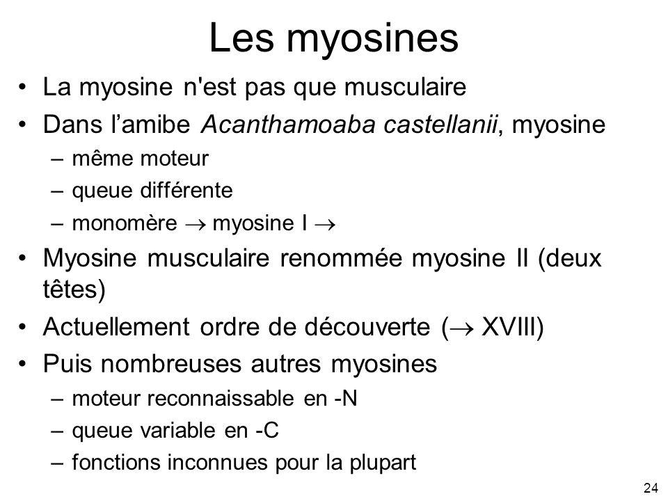 24 Les myosines La myosine n'est pas que musculaire Dans lamibe Acanthamoaba castellanii, myosine –même moteur –queue différente –monomère myosine I M