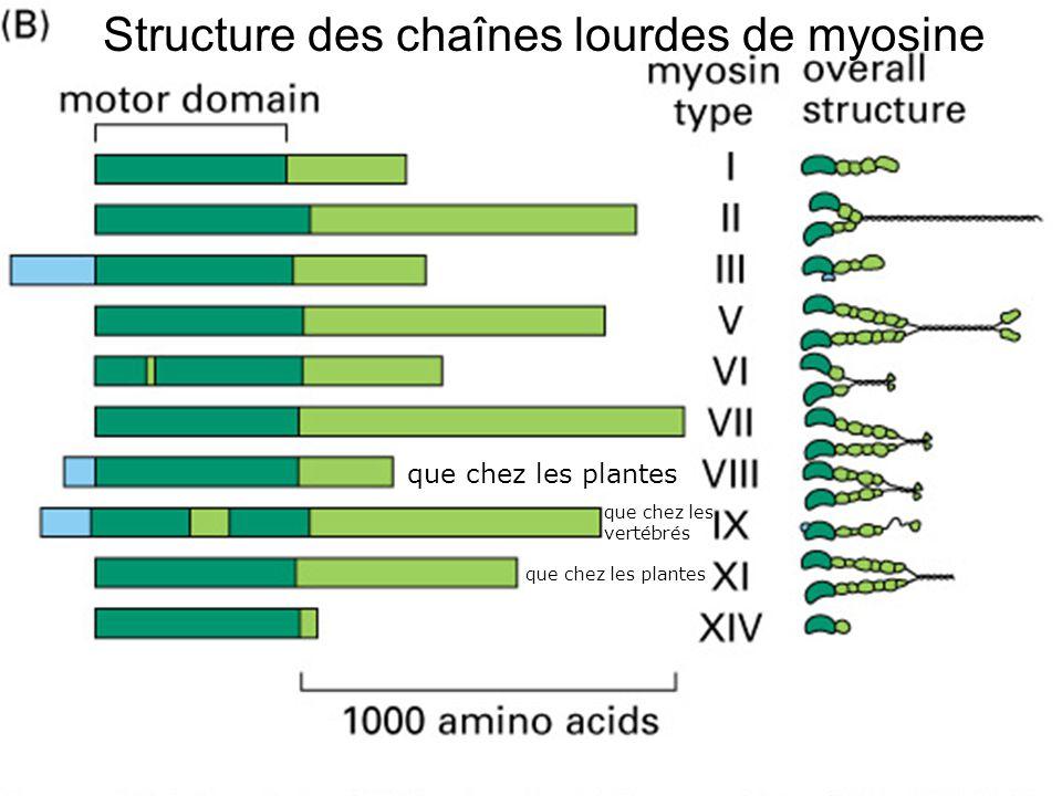 26 Fig 16-54(B) Structure des chaînes lourdes de myosine que chez les plantes que chez les vertébrés