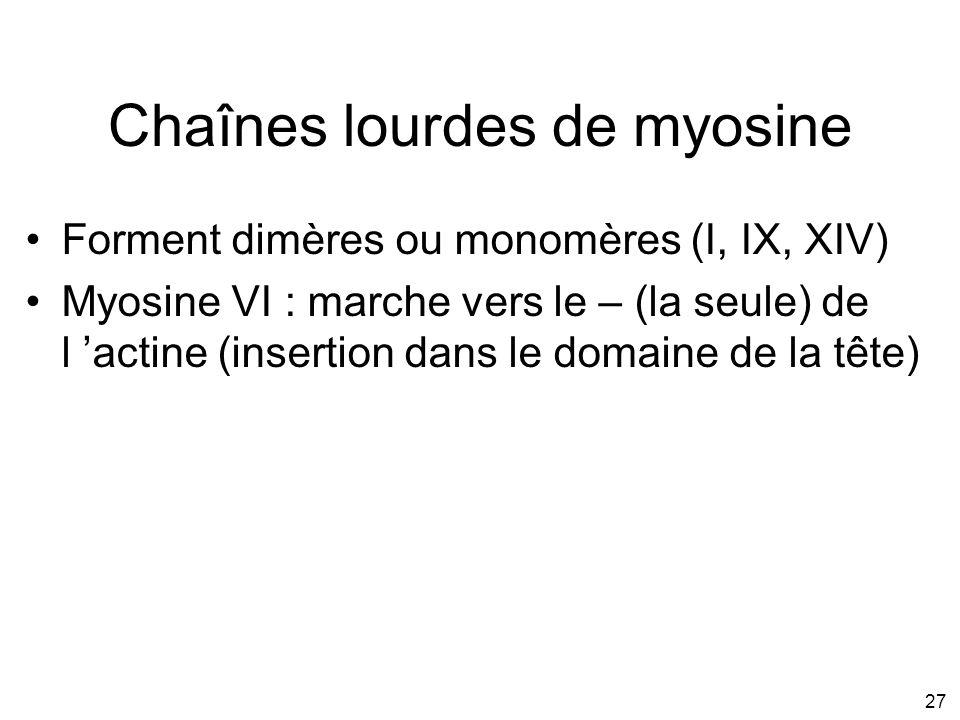 27 Chaînes lourdes de myosine Forment dimères ou monomères (I, IX, XIV) Myosine VI : marche vers le – (la seule) de l actine (insertion dans le domain