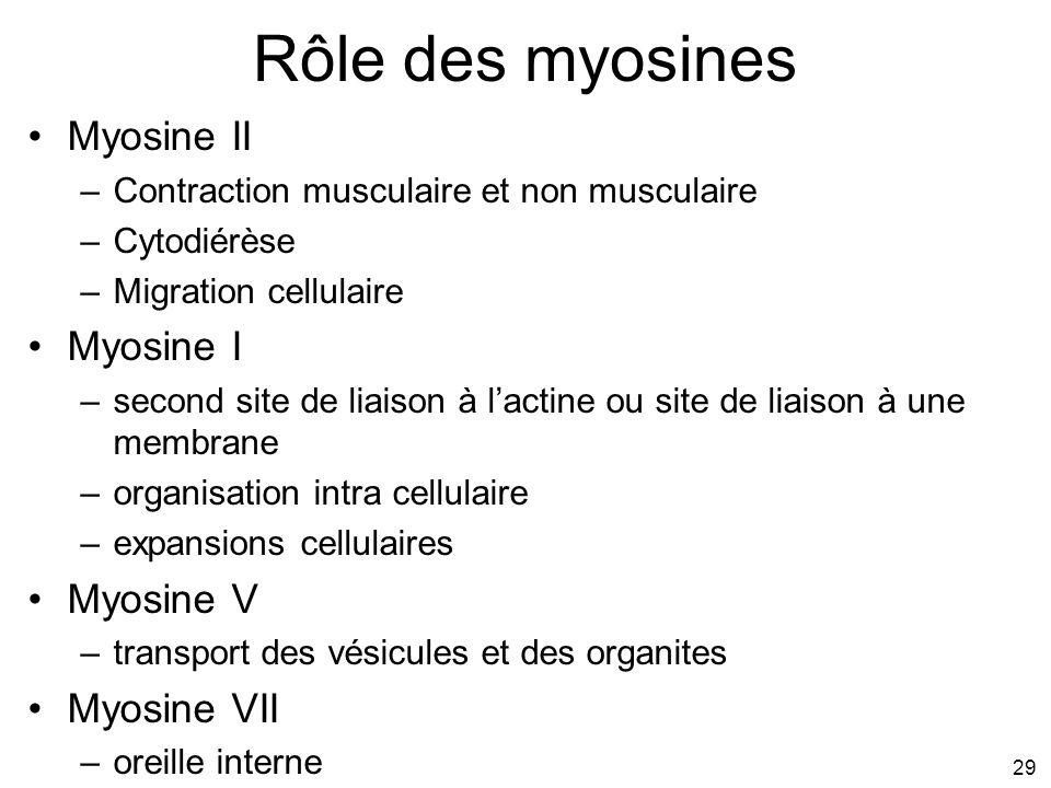 29 Rôle des myosines Myosine II –Contraction musculaire et non musculaire –Cytodiérèse –Migration cellulaire Myosine I –second site de liaison à lacti