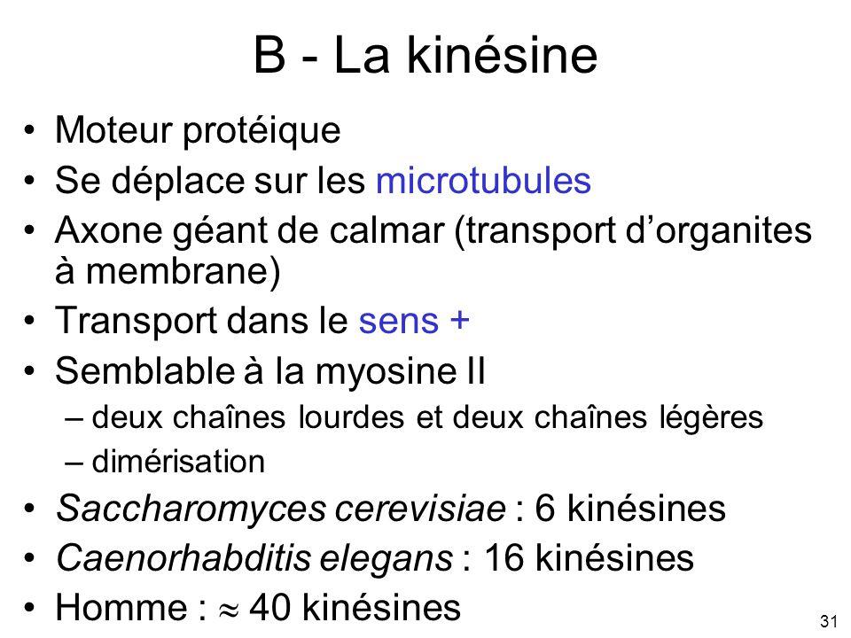 31 B - La kinésine Moteur protéique Se déplace sur les microtubules Axone géant de calmar (transport dorganites à membrane) Transport dans le sens + S