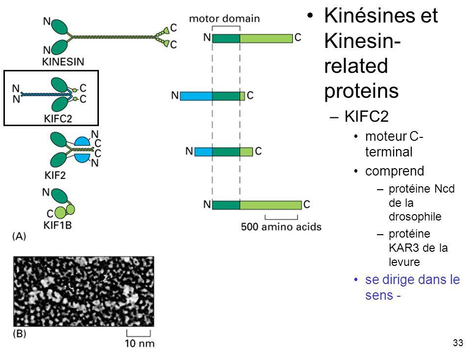 33 Fig 16-55 Kinésines et Kinesin- related proteins –KIFC2 moteur C- terminal comprend –protéine Ncd de la drosophile –protéine KAR3 de la levure se d