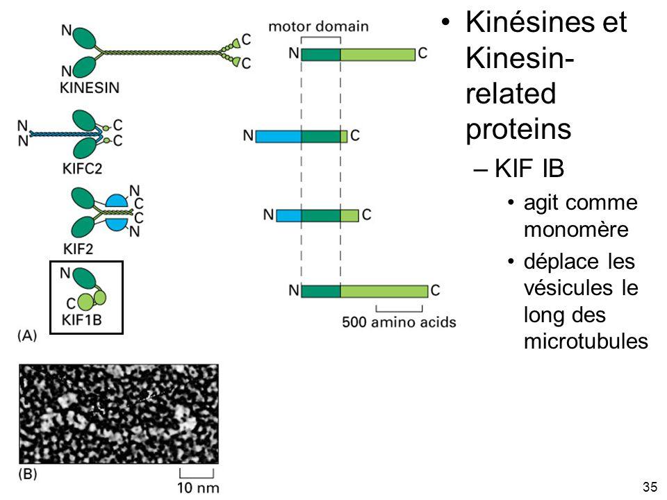 35 Fig 16-55 Kinésines et Kinesin- related proteins –KIF IB agit comme monomère déplace les vésicules le long des microtubules