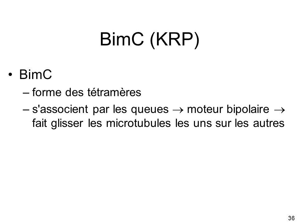 36 BimC (KRP) BimC –forme des tétramères –s'associent par les queues moteur bipolaire fait glisser les microtubules les uns sur les autres