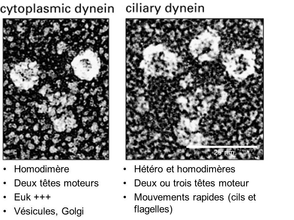 40 Fig 16-56 Homodimère Deux têtes moteurs Euk +++ Vésicules, Golgi Hétéro et homodimères Deux ou trois têtes moteur Mouvements rapides (cils et flage