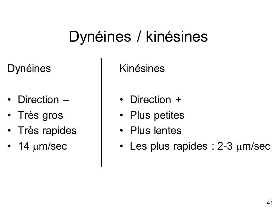 41 Dynéines / kinésines Dynéines Direction – Très gros Très rapides 14 m/sec Kinésines Direction + Plus petites Plus lentes Les plus rapides : 2-3 m/s