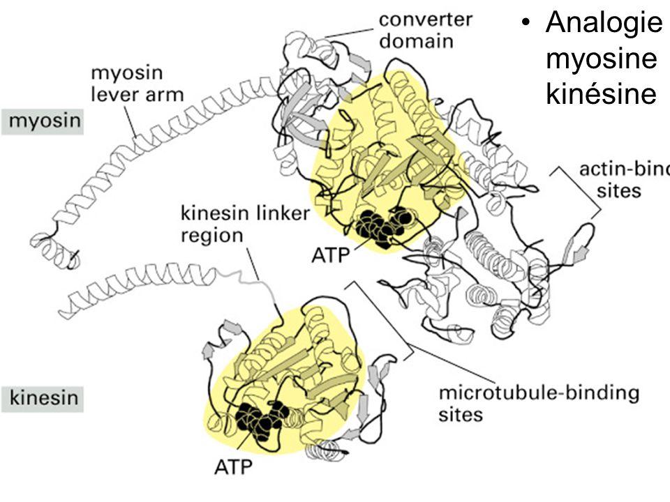 43 Fig 16-57 Analogie myosine kinésine