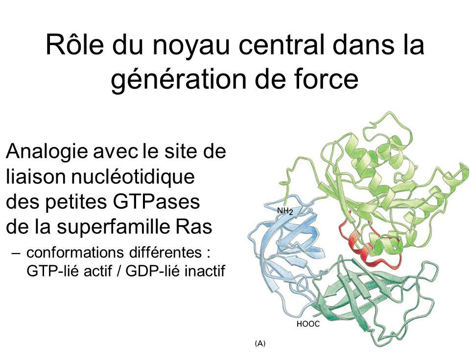 44 Rôle du noyau central dans la génération de force Analogie avec le site de liaison nucléotidique des petites GTPases de la superfamille Ras –confor