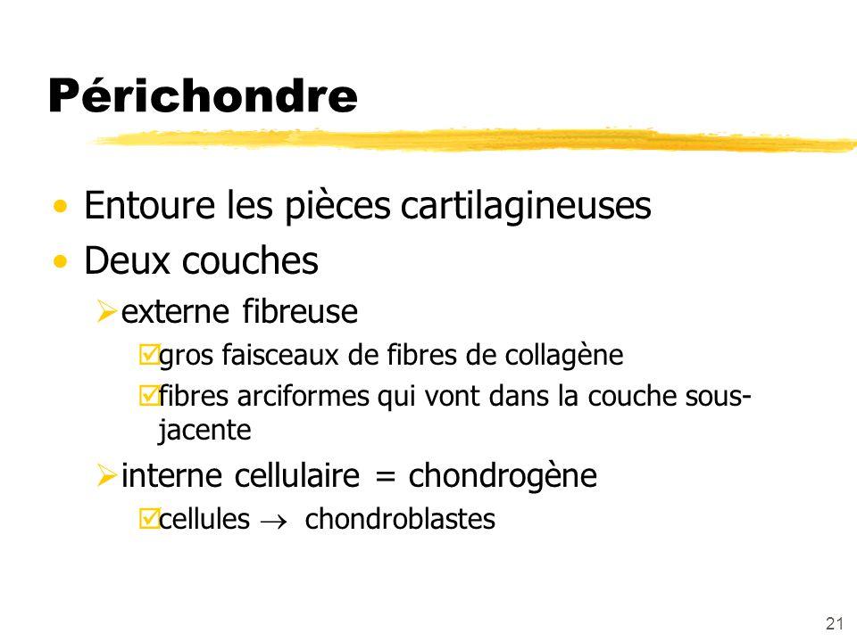 21 Périchondre Entoure les pièces cartilagineuses Deux couches externe fibreuse gros faisceaux de fibres de collagène fibres arciformes qui vont dans