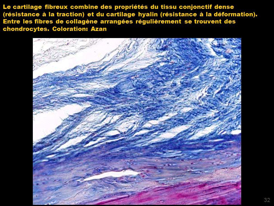 32 Le cartilage fibreux combine des propriétés du tissu conjonctif dense (résistance à la traction) et du cartilage hyalin (résistance à la déformatio