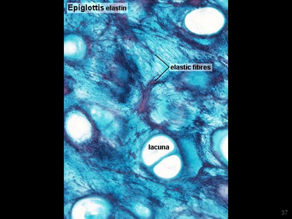 37 Epiglotte