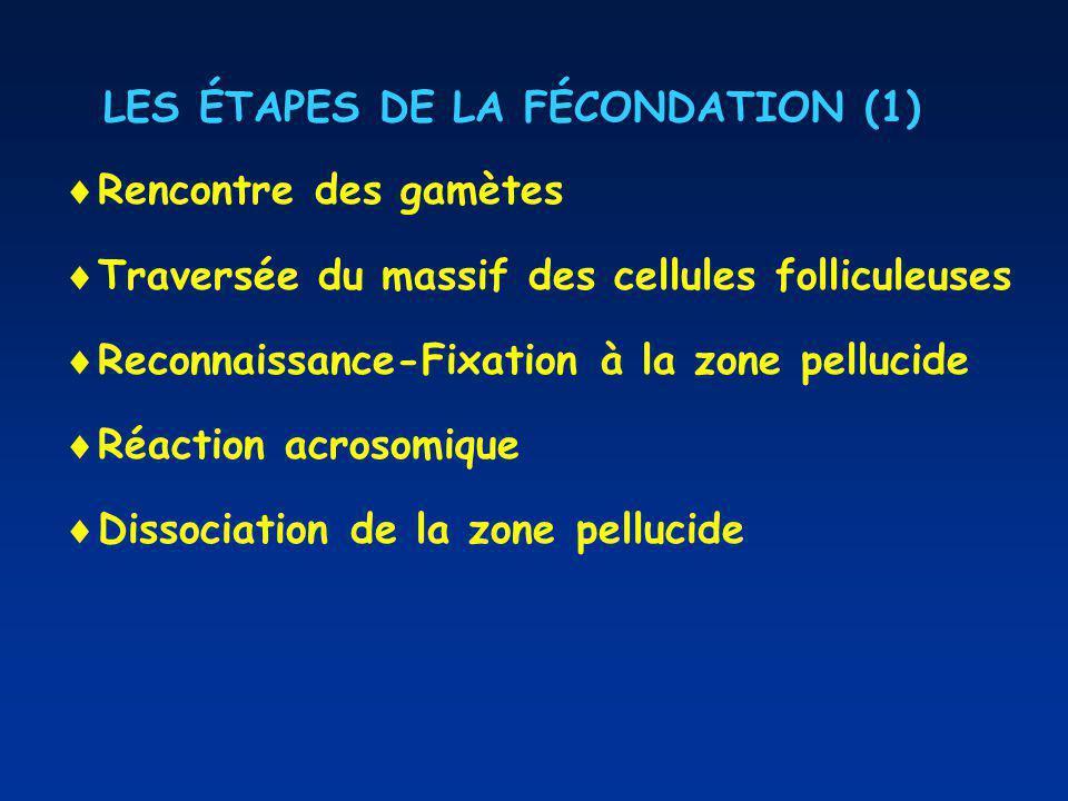 LES ÉTAPES DE LA FÉCONDATION (1) Rencontre des gamètes Traversée du massif des cellules folliculeuses Reconnaissance-Fixation à la zone pellucide Réaction acrosomique Dissociation de la zone pellucide