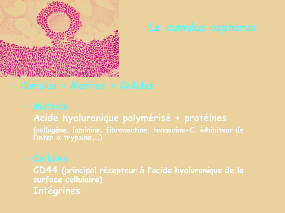 Le cumulus oophorus Cumulus = Matrice + Cellules –Matrice Acide hyaluronique polymérisé + protéines (collagène, laminine, fibronectine, tenascine-C, i