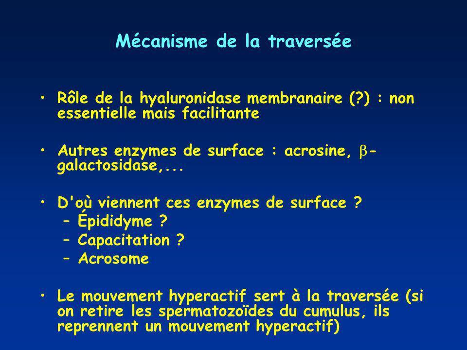 Mécanisme de la traversée Rôle de la hyaluronidase membranaire (?) : non essentielle mais facilitante Autres enzymes de surface : acrosine, - galactos